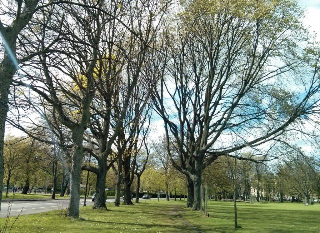 4. <em>Ulmus</em> × <em>hollandic</em>a 'Vegeta' group, The Meadows, next to Melville Drive.