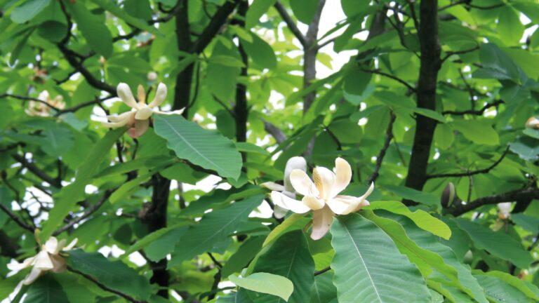 Japanese bigleaf magnolia (Magnolia obovata)