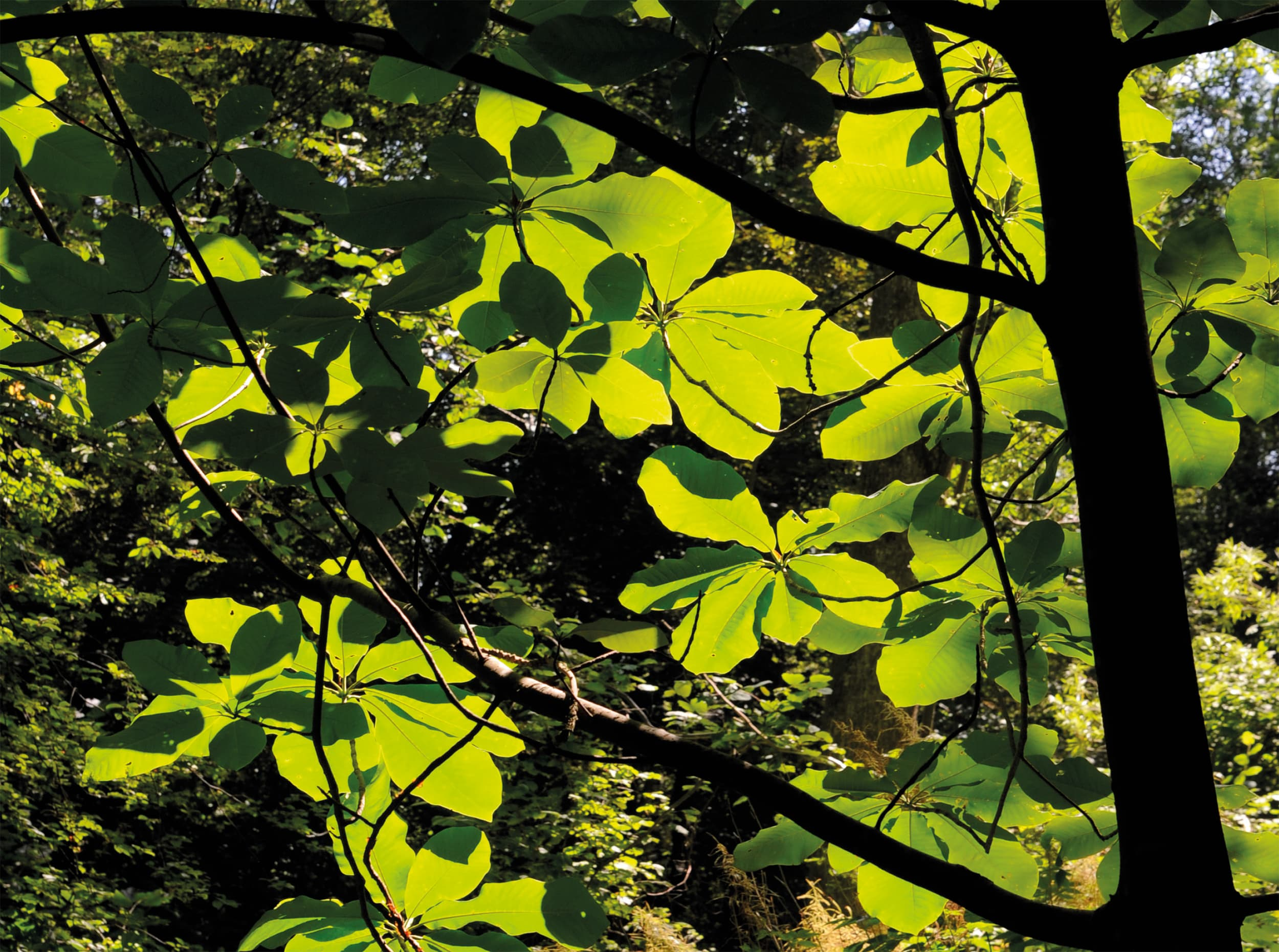 Japanese bigleaf magnolia. The leaves are perhaps the species' greatest characteristic.