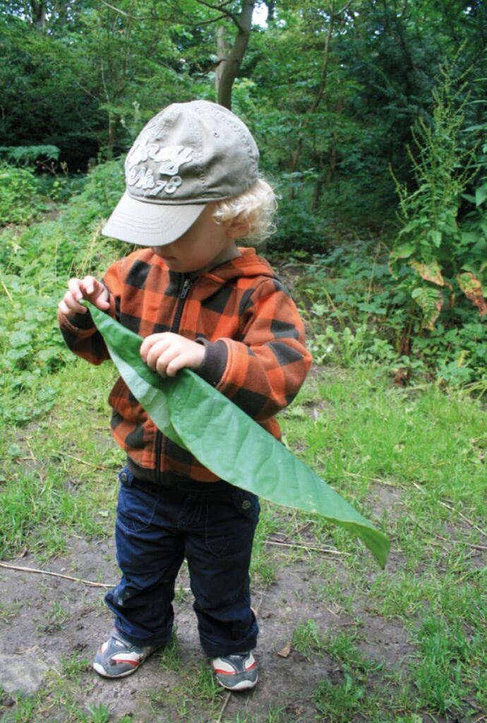 Japanese bigleaf magnolia boy picks up fallen leaf.